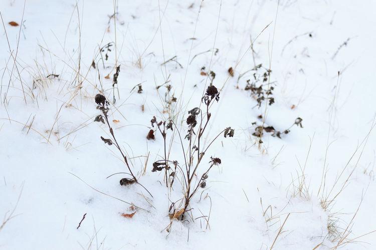 Snow Plant Winter Cold Temperature No People Beauty In Nature Nature Field Day White Color Tranquility Land Growth Dry Covering Frozen Focus On Foreground Close-up Outdoors