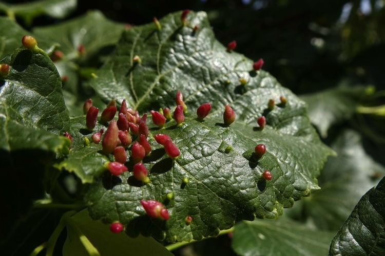 Beauty In Nature Berry Fruit Close-up Day Focus On Foreground Food Food And Drink Freshness Fruit Green Color Growth Healthy Eating Leaf Leaves Nature No People Outdoors Parasite Plant Plant Part Red Selective Focus