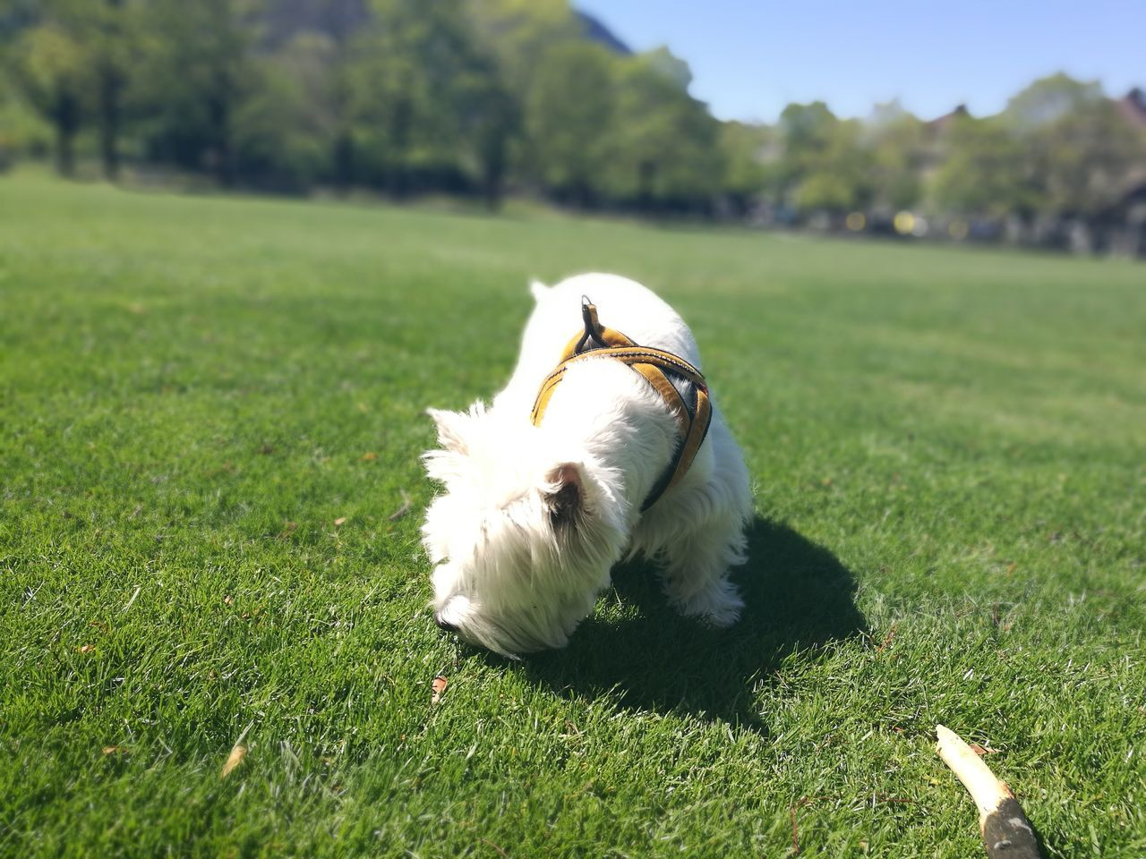 one animal, grass, dog, domestic animals, pets, animal themes, mammal, field, white color, outdoors, day, no people, west highland white terrier, nature, close-up