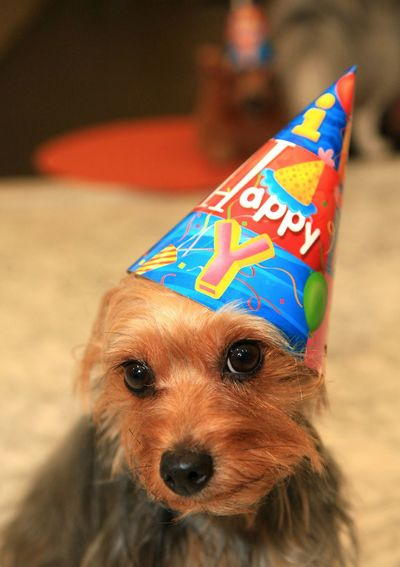 Portrait of australian silky terrier with party hat