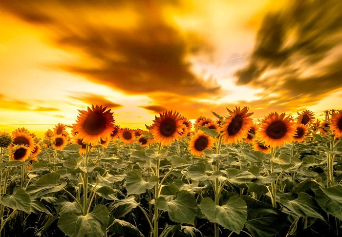 Sunflowers. Flower Growth Nature Beauty In Nature Sunset Plant Field Sky Cloud - Sky Sunflower