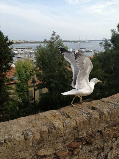 Seagull In Cannes