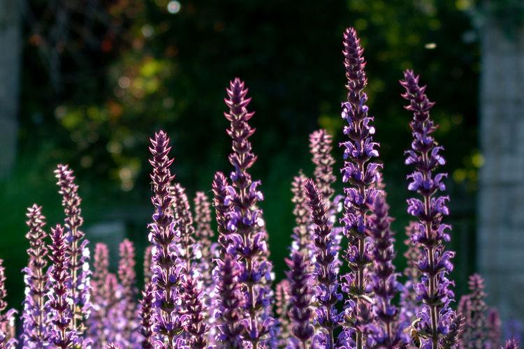 Close-up of purple flowering sage, salvia officinalis