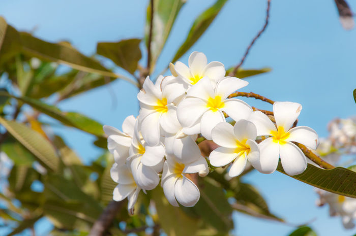 White Plumeria Beauty In Nature Blooming Blossom Branch Clear Sky Close-up Day Flower Flower Head Focus On Foreground Fragility Freshness Growth Nature No People Outdoors Petal Plant Plumeria Plumeria Blossoms Plumeria Flowers Springtime Tree White Color EyeEm Selects