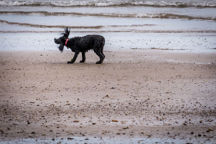 Animal Themes Beach Cute Day Dog Domestic Animals Full Length Mammal Nature No People One Animal Outdoors Pets Running Sand Sea Shake Summer Water