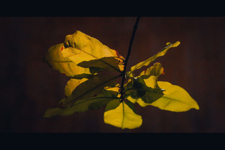 Close-up of yellow leaves against black background