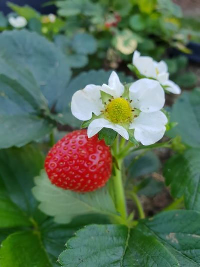 Sweetest of them All Strawberry Summer Summer Evening Quiet Strawberry Plant In My Garden Fresh Produce Ecological Leaf Plant In Bloom Blooming Fragility Plant Life Blossom Single Flower