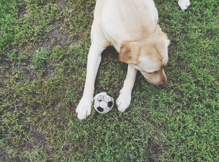 High angle view of yellow labrador retriever relaxing with ball on field