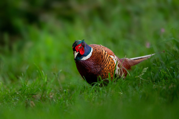 Close-up of ring-necked pheasant on grass