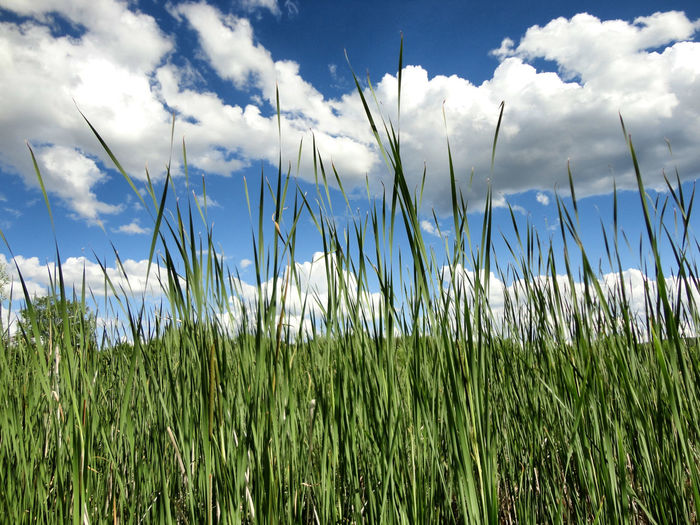 Low Angle View Of Grass In Field Against Cloudy Sky