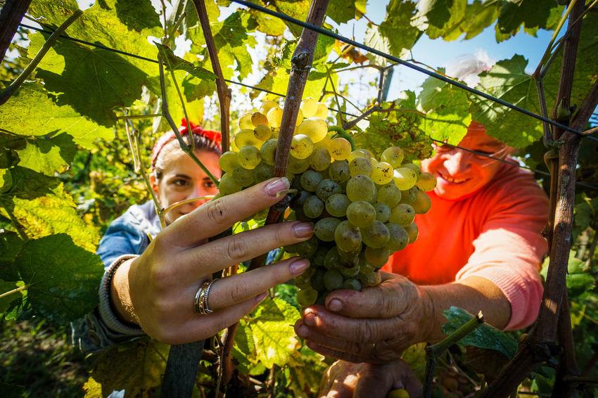 Harvest Nature Day Outdoors Grapes, Vineyard, Wine, Winery, Soft, Harvest Harvest Season Wine moments Trees Vendemmia Campania Italy Enjoying Life Sky Campania People Agricolture Working Countryside Life Italia