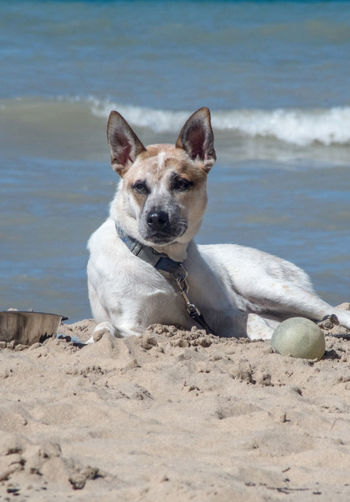 A bored dog waits on the beach with his water bowl and his ball