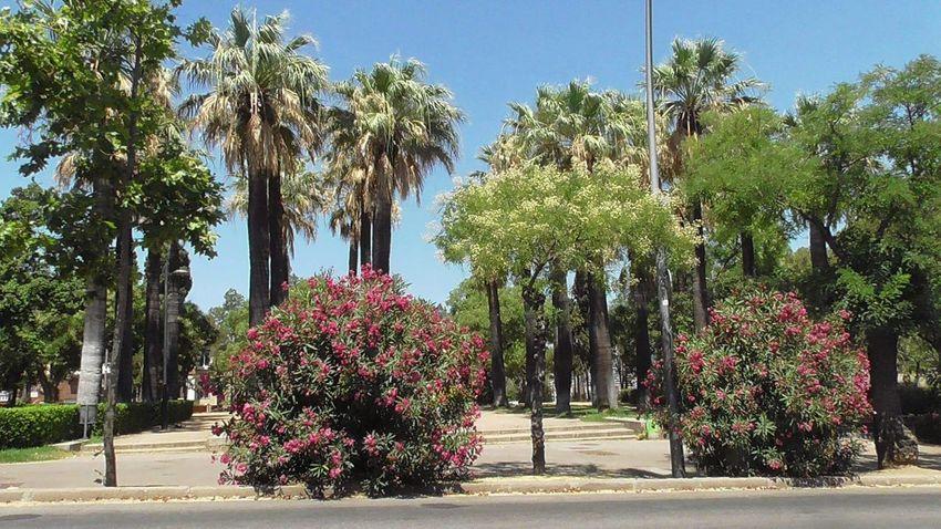 Spain♥ EyeEm Spain Barcelona Barcelona, Spain Myholiday Summer2015 Trees TreePorn Colorful Colors Eyeemnaturelover EyeEmFlower Lovetree Flowering Bushes Plants