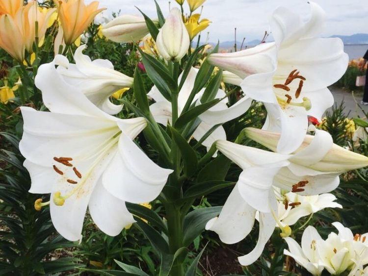Iily Flowers Iloveflowers White Lastyearmemory Park 舞洲ゆり園 Beautiful Bright Fun Driving Osaka,Japan Maishima Maishimayurien Eyeem Diary Hello World EyeEm Nature Lover EyeEm Flower