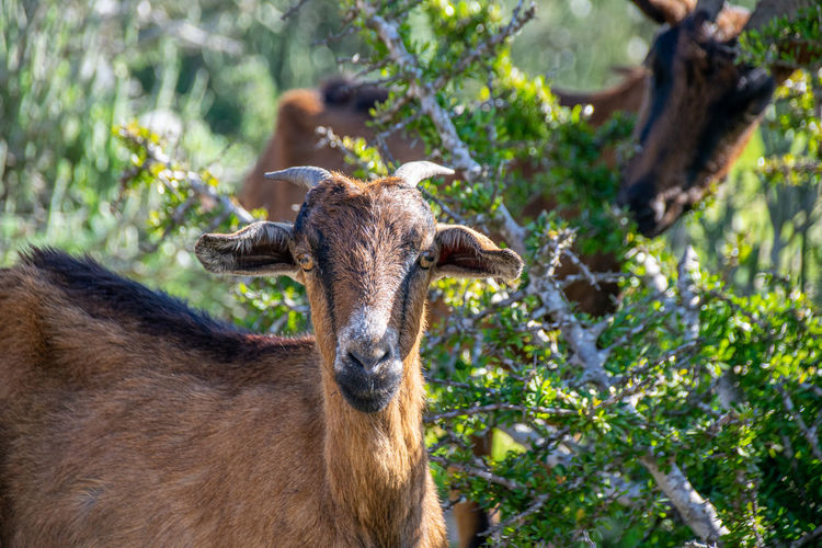 Goats in dry arid climate eating prickly vegetation