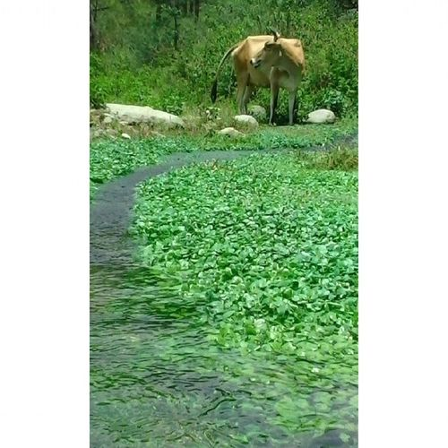 Cow , rivulet water stream and Watercress KholeSaag Vegan freely provided by Mother Nature ...in Dharamsala Palampur Green Nofilter Mobilecam VeganGram Cowgram Waterscape Junglewalk Bushwhacking SemiAquatic Aquatic Vegetable StreamScape