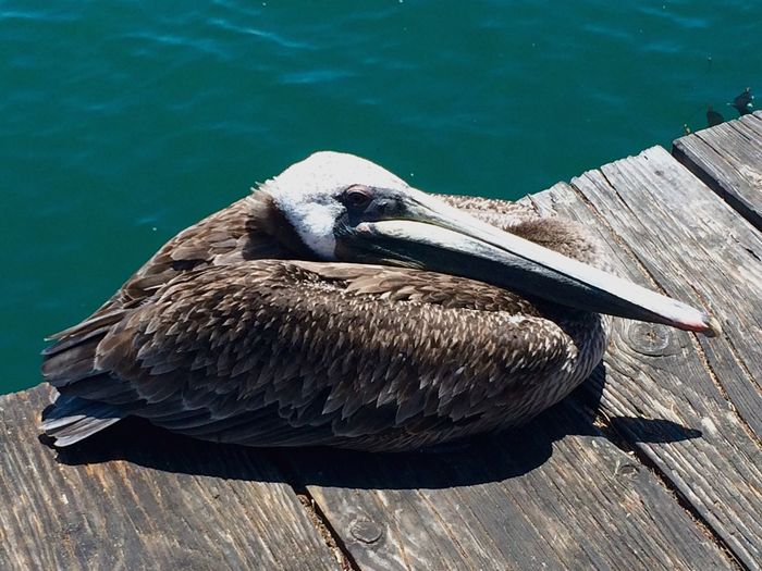 Pelican resting on the pier 🇺🇸 IPhoneography USAtrip Pelican California Santa Barbara, CA Pier EyeEm Selects High Angle View Water Day Animals In The Wild Outdoors No People Animal Themes Close-up Bird Nature California Dreamin Sea Bird Water Bird