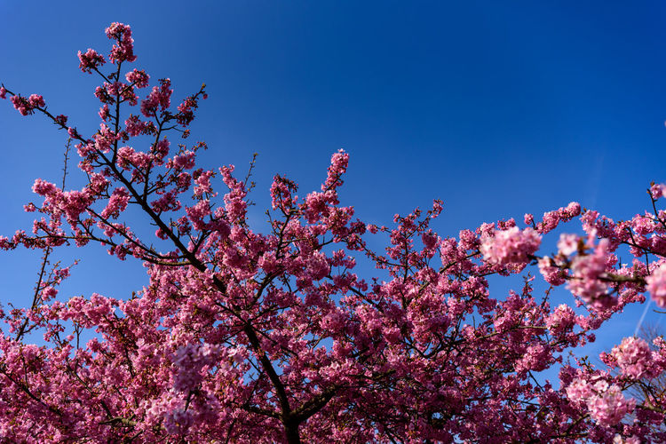 Pink Color Fragility Flower Flowering Plant Growth Plant Low Angle View Beauty In Nature Tree Sky Vulnerability  Blossom Branch Freshness Nature Springtime Blue Day Clear Sky No People Cherry Blossom Cherry Tree Outdoors Spring Kawazu-zakura
