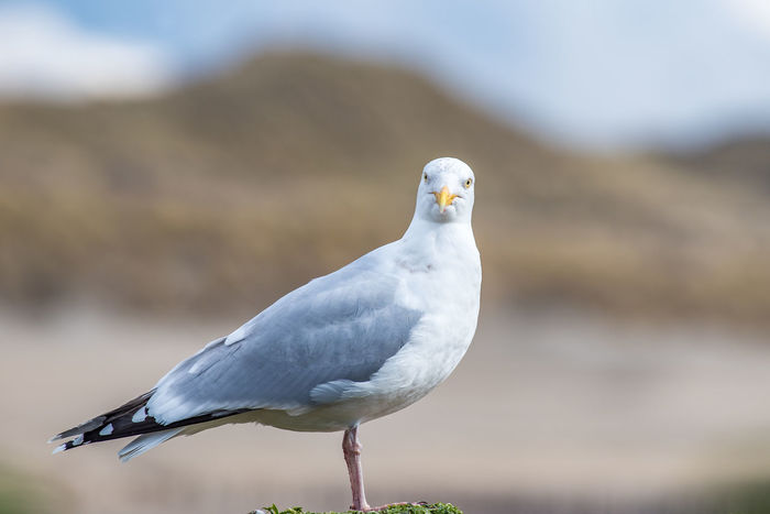 Hey You Looking At Camera Beach, Bird Front Focus Nature, Portrait Seagull Soft Background Wildlife