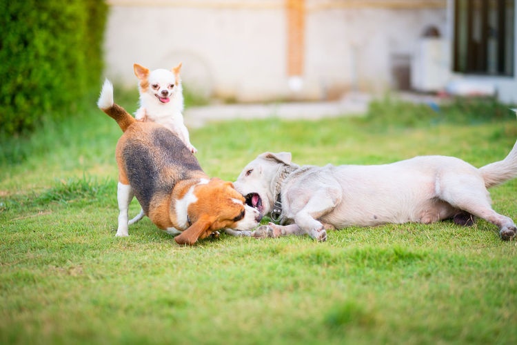 Three dogs playing on a green grassy land home garden. It looks like the dog is smiling as it bites the other dog. Beagle and chishuhua smooth coat and thai local Mammal Domestic Animal Themes Domestic Animals Pets Animal Grass Group Of Animals Dog Canine Plant Two Animals Vertebrate No People Relaxation Selective Focus Day Cat Nature