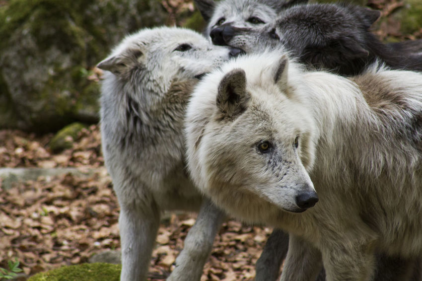 Wolf pack Orlu Wolf Sanctuary Wolves♥ Animal Wildlife Animals In The Wild Close-up Day Nature No People Outdoors Wolf Wolves In Forest