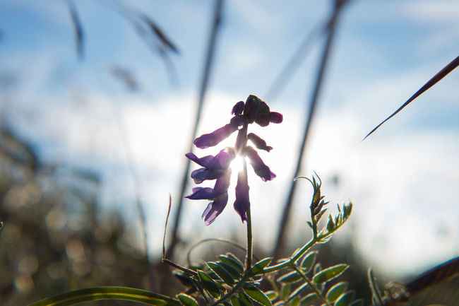 Beauty In Nature Clouds And Sky Macro Macro Nature Nature Purple Flower Silhouette Sun Translucent Vetch
