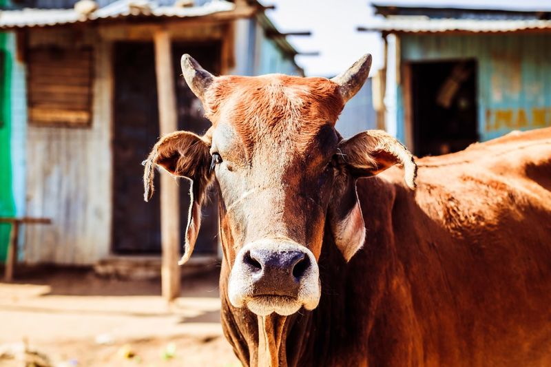 Masai Africa Cattle Livestock EyeEm Selects Cow Livestock Domestic Animals Animal Themes Mammal Domestic Cattle Focus On Foreground Cattle One Animal Portrait Looking At Camera Outdoors No People Day Close-up Nature An Eye For Travel EyeEmNewHere