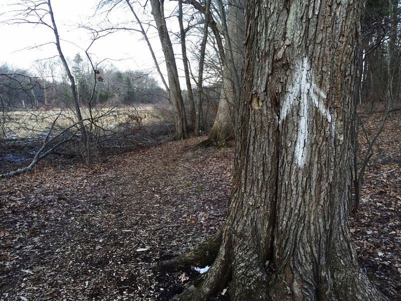 Tree Arrow Up Arrow Spray Paint Spray Painted Forest Trees Leaves Texture Bark Tree Bark Walking Rough White Arrows Painted Arrow Deface Defaced Symbol Nature Defacing Nature Tree Trunk Old Tree Up Path Forest Path