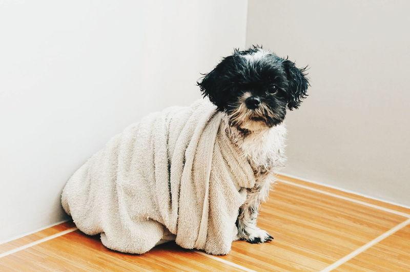 Portrait Of Shih Tzu Dog Wrapped In Towel On Hardwood Floor