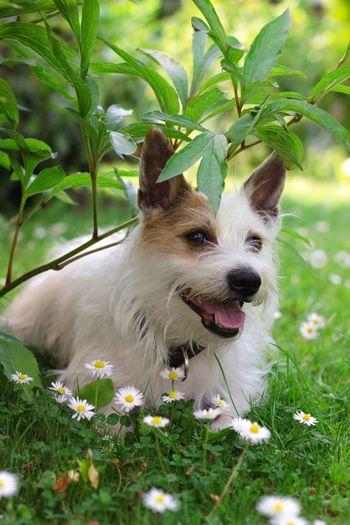 Hund Dog Fell Weiss White Tier Animal Blumen Flowers Gras  Grün