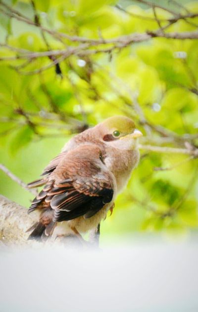 sooo cute 😍 Shrike Birds Chicks Fledging Naturelovers Trees Green Nature In My Garden