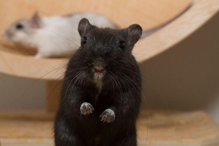 Gerbil Ratón Tiere Animals Animales Mouse Rennmaus Maus Focus Object The Week On EyeEm Pet Portraits Pet Portraits
