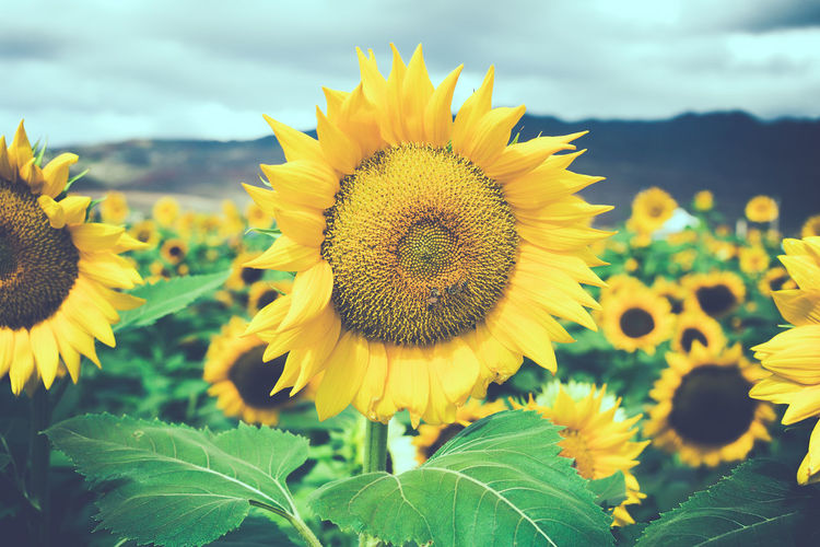 Beauty Beauty In Nature Bee Blooming Close-up Daisy Day Field Flower Flower Head Fragility Freshness Growth Leaf Mountain Nature Nature No People Outdoors Petal Plant Sky Sunflower Yellow