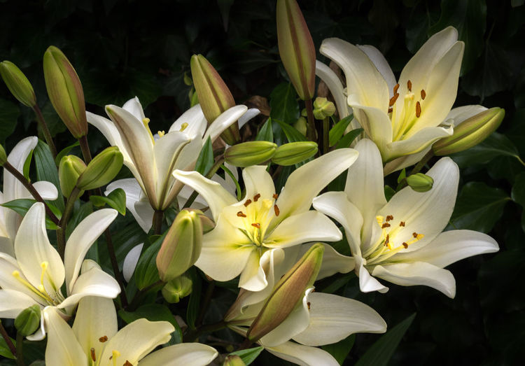 Macro Photography Beauty In Nature Dark Background Fresh Multiple Flowers Multiple Flowers Plus Buds White Garden Lilies Yellow Centers
