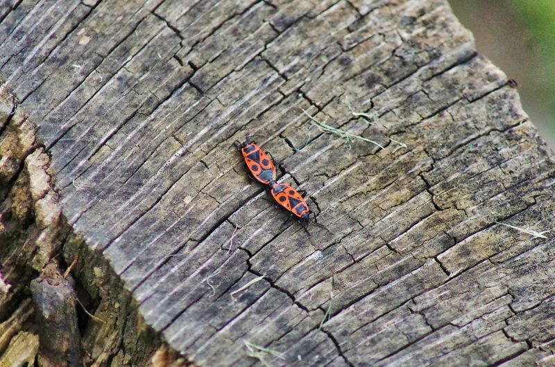 love bugs Love Sexi  Red Red Accoppiamento Riproduzione Wood - Material High Angle View Rough Close-up Insect Bug Tiny Beetle