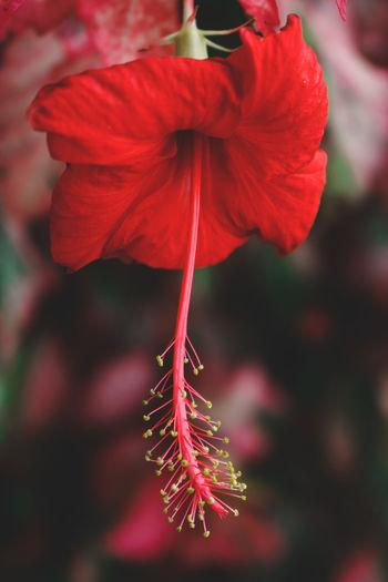 Close-Up Of Red Hibiscus