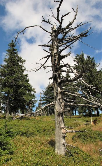 Czech Republic Dead Tree Cloud - Sky Coniferous Tree Day Environment Grass Green Color Growth Jeseniky Land Landscape Mountains Nature No People Non-urban Scene Outdoors Plant Sky Tranquil Scene Tranquility Tree Tree Trunk