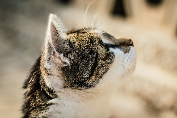 Cat looking up with focus on foreground Pet Photography  Pet Portraits Animal Themes Cat Looking Up Cat Portrait Close Up Close-up Domestic Animals Domestic Cat Focus On Foreground Macro Mammal No People One Animal Outdoors Pets Whiskas