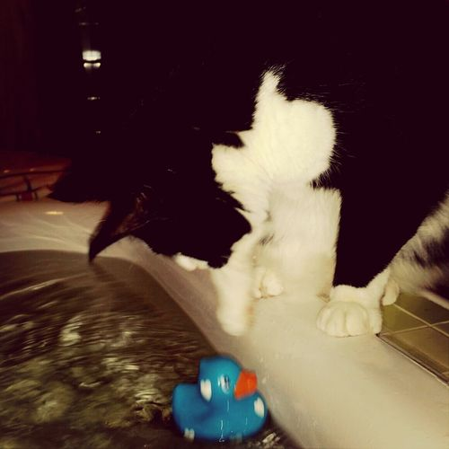 Alfons, duck and water. Cats Water Play Cute
