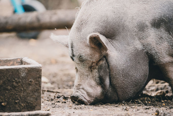 Livestock Vietnamese Pig Animal Domestic Animals Mammal One Animal Pig