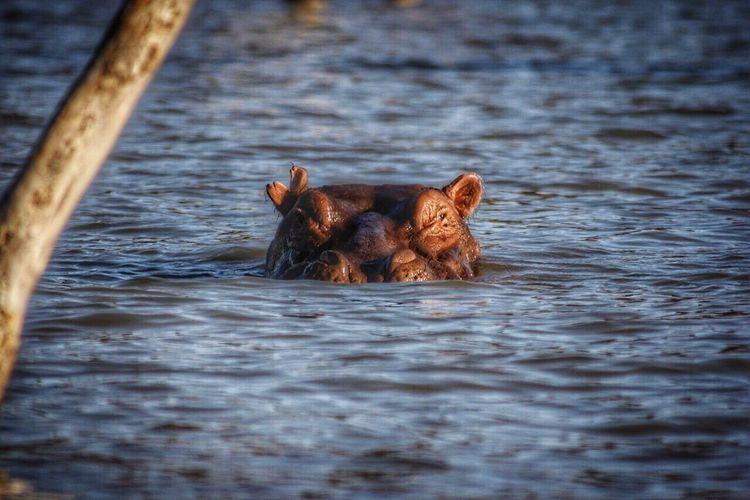 Close-Up Of Hippopotamus Swimming