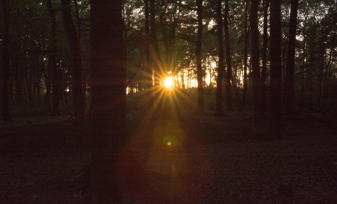 SUNLIGHT STREAMING THROUGH SILHOUETTE TREES IN FOREST