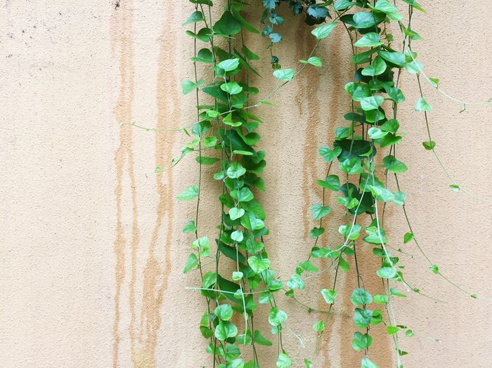 Green Color Ivy