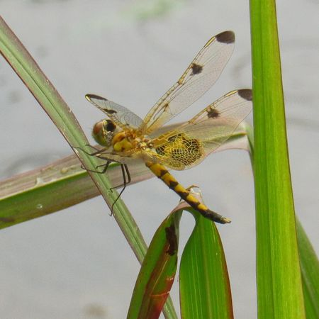 EyeEm Selects Dragonfly Animal Wildlife Insect Animals In The Wild Close-up No People Nature Animal Themes One Animal Full Length Day Outdoors Yellow Dragonfly Close-up Perching Macro Dragonfly Perched Flying Insects Water Reflections Dragonfly Photograohy Wings Predator Good Insect Shiny Background
