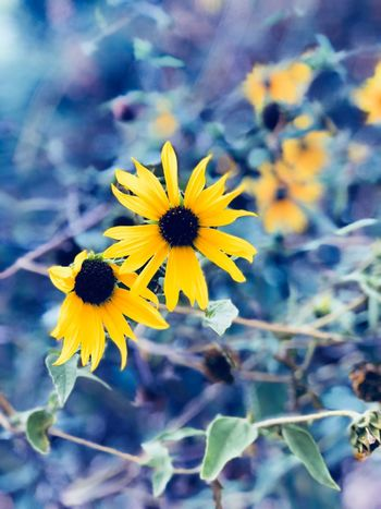 Flowering Plant Flower Fragility Freshness Yellow Plant Vulnerability  Petal Close-up Inflorescence Growth Flower Head Beauty In Nature Focus On Foreground Nature No People Pollen Day Outdoors Field