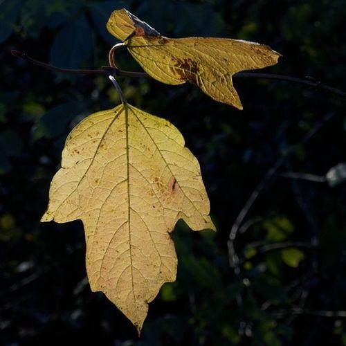 Leaf Autumnleaf Autumn Herbst Herbstblatt nature natur autumncolors herbstfarben lovelydeadcrap