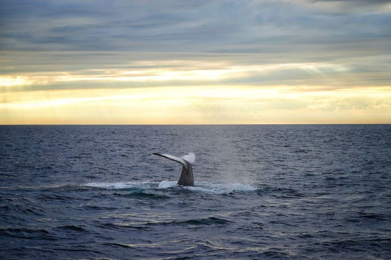 Whale tail Water Humpback Whale Whale Sea Sunset Sea Life Swimming Sky Animal Themes Animal Fin UnderSea Ocean Floor