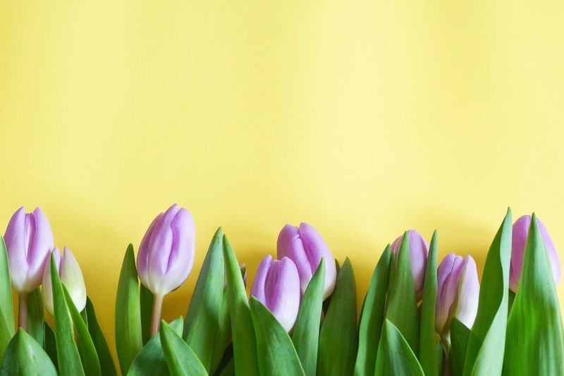 Close-up of multi colored tulips against white background