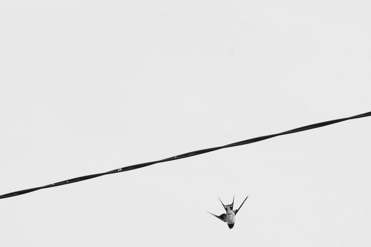 Niklas Storm Maj 2018 Barn Swallow Flying Sky Spread Wings Flapping Animal Wing