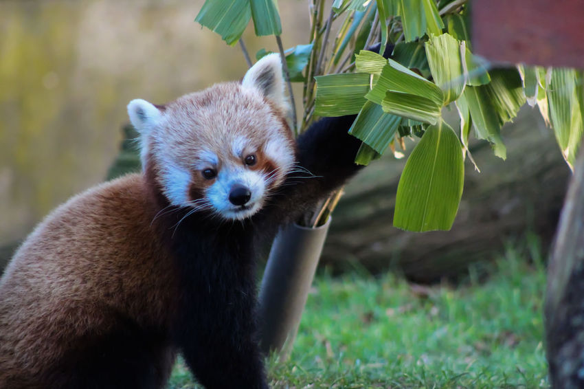 Animal Themes Animal Wildlife Animals In The Wild Close-up Day Focus On Foreground Grass Green Color Leaf Looking At Camera Mammal Nature No People One Animal Outdoors Portrait Red Panda